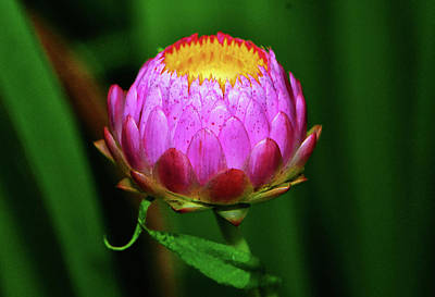 Photograph - Strawflower 033 by George Bostian