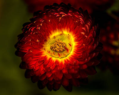 Photograph - Strawflower by Tex Wantsmore