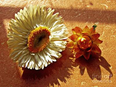 Strawflower Photograph - Strawflowers On The Window Sill 1                         by Sarah Loft