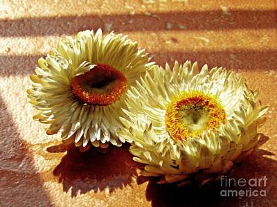 Strawflower Photograph - Strawflowers On The Window Sill 2 by Sarah Loft