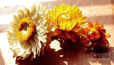 Photograph - Strawflowers On The Window Sill 7 by Sarah Loft