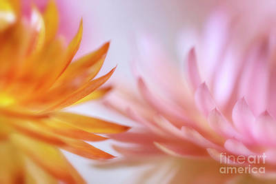 Abstract Flowers Royalty-Free and Rights-Managed Images - Strawflowers by Veikko Suikkanen