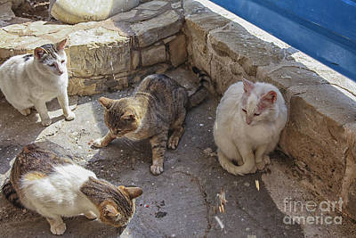 Photograph - Stray Cats  by Patricia Hofmeester