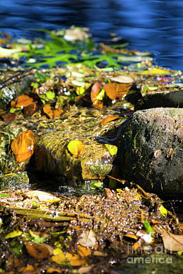 Photograph - Stream Leaves by Alycia Christine