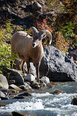 Photograph - Streamside Bighorn Sheep by Mark Miller
