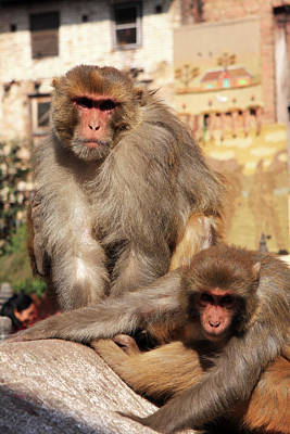 Photograph - Kathmandu Street Monkeys  by Aidan Moran