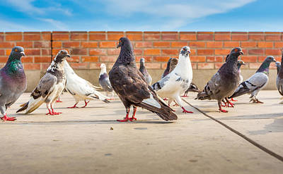 Photograph - Street Pigeons. by Gary Gillette