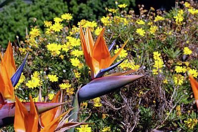 Photograph - Strelitzia  by Harvey Barrison