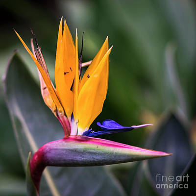 Photograph - Strelitzia Reginae Genoves Park Cadiz Spain by Pablo Avanzini