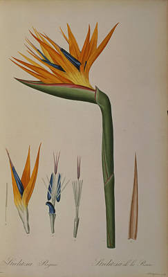 Strelitzia Painting - Strelitzia Reginae by Pierre Joseph Redoute