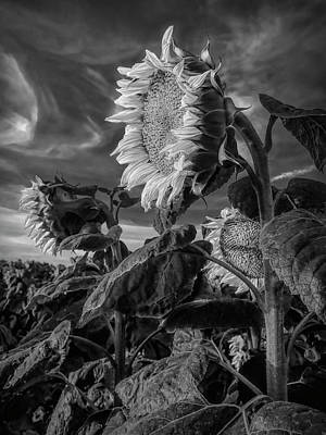 Strength Of A Sunflower Art Print