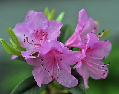 Photograph - Rhododendron Flowers by Glenn Gordon