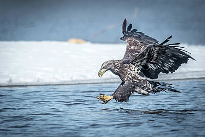 Photograph - Stretched Out Eagle by Paul Freidlund