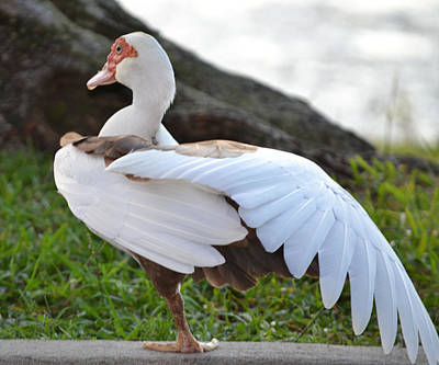 Photograph - Stretching Before Bed - Muscovy Duck Hen by rd Erickson