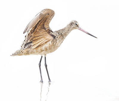 Beer Blueprints - Stretching Godwit by Ruth Jolly