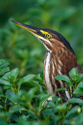 Tortuguero Photograph - Striated Heron Butorides Striata by Panoramic Images