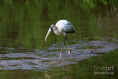 Juvenile Wall Decor Photograph - Striding Wood Stork by Christiane Schulze Art And Photography
