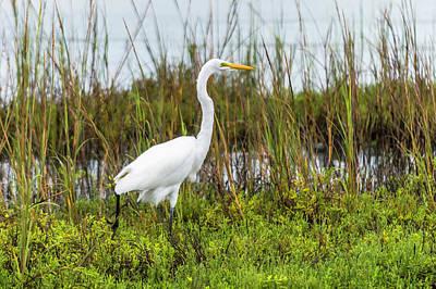 Photograph - Striking Egret  by Leticia Latocki