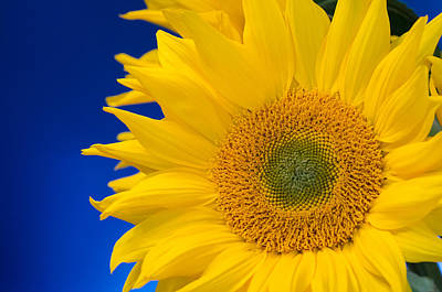 Photograph - Striking Sunflowers by Margaret Pitcher