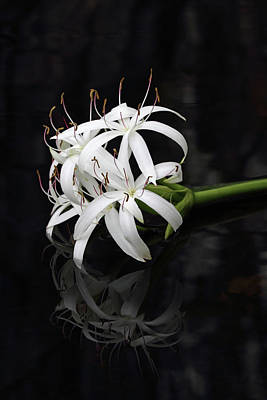 Photograph - String Lily #1 by Paul Rebmann