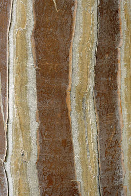 Photograph - Striped Bark by Laurel Powell