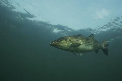 Photograph - Striped Bass by Bill Curtsinger