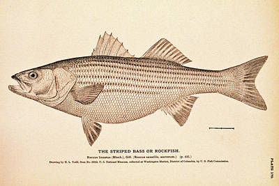 Drawing - Striped Bass by Paul and Janice Russell