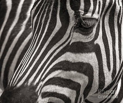 Photograph - Striped Beauty by Sherry Davis