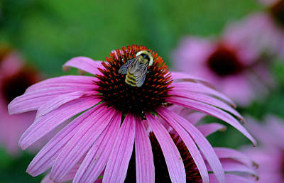 Striped Bumble Bee Art Print by Martin Morehead