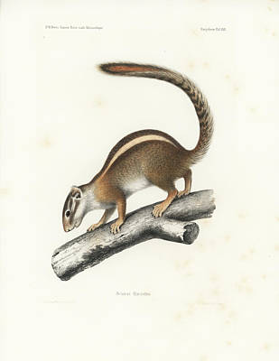 Drawing - Striped Bush Squirrel, Paraxerus Flavovittis by J D L Franz Wagner