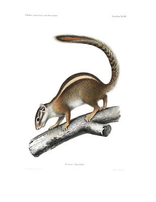 Animals Drawings - Striped Bush Squirrel, Paraxerus flavovittis by J D L Franz Wagner