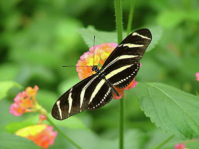 Striped Butterfly Art Print by Wendy McKennon