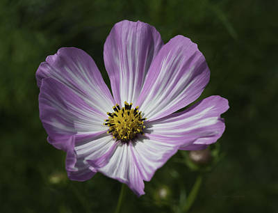 Photograph - Striped Cosmos 1 by Roger Snyder