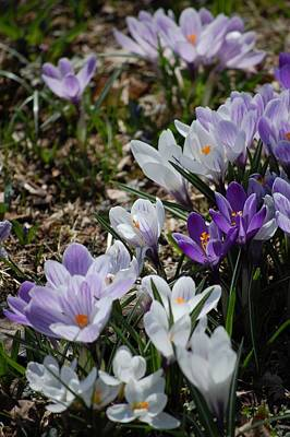 Photograph - Striped Crocus Medley by David Lane