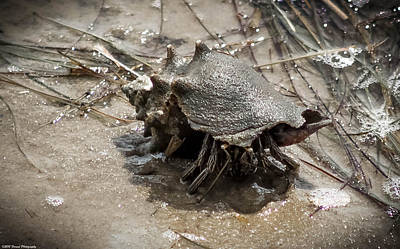Photograph - Striped Hermit Crab On The Move by Debra Forand