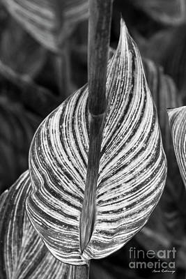 Photograph - Striped Leaves B W Abstract Leaf Art by Reid Callaway