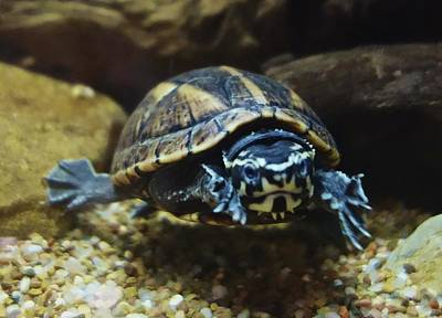 Photograph - Striped Mud Turtle by Joan Reese