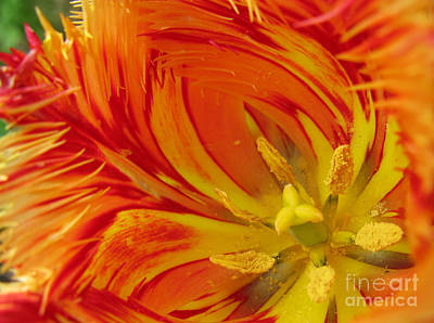 Striped Parrot Tulips. Olympic Flame Art Print
