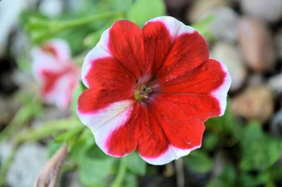 Photograph - Striped Petunia by Bonfire Photography