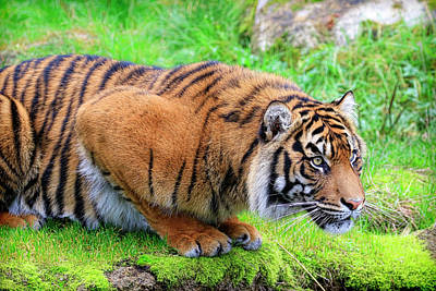 Photograph - Striped Pouncer by Steve McKinzie