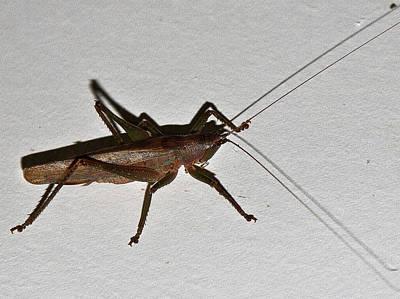 Photograph - Striped Raspy Cricket by Miroslava Jurcik