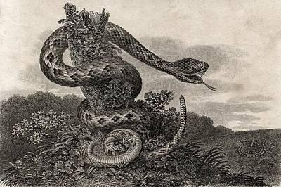 Striped Rattlesnake Crotalus Durissus Art Print