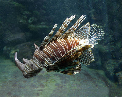 Photograph - Striped Rhino Fish by Richard Reeve