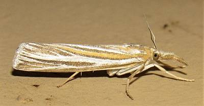 Photograph - Striped Snout Moth by Joshua Bales