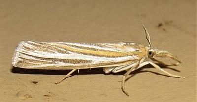 Photograph - Striped Snout Moth by Joshua Bales