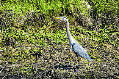 Photograph - Strolling Great Blue Heron by Frank Wilson