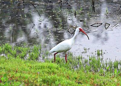 Photograph - Strolling Ibis by Carol Groenen