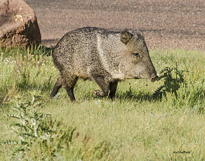Photograph - Strolling Javelina by Allen Sheffield
