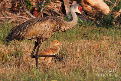 Photograph - Strolling Sandhill Crane Family by Meg Rousher