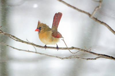 Digital Art - Strong Female Cardinal by Donna Doherty